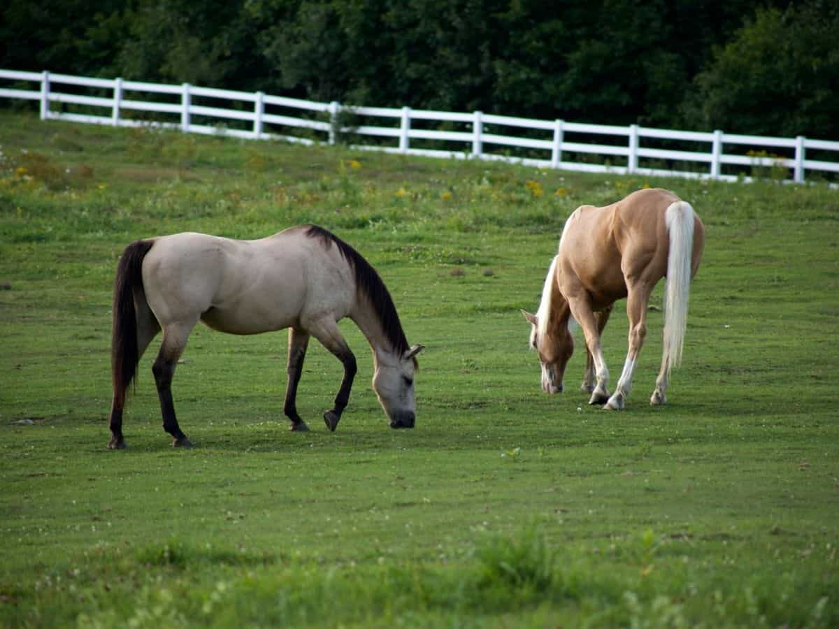 Two horses in grass field