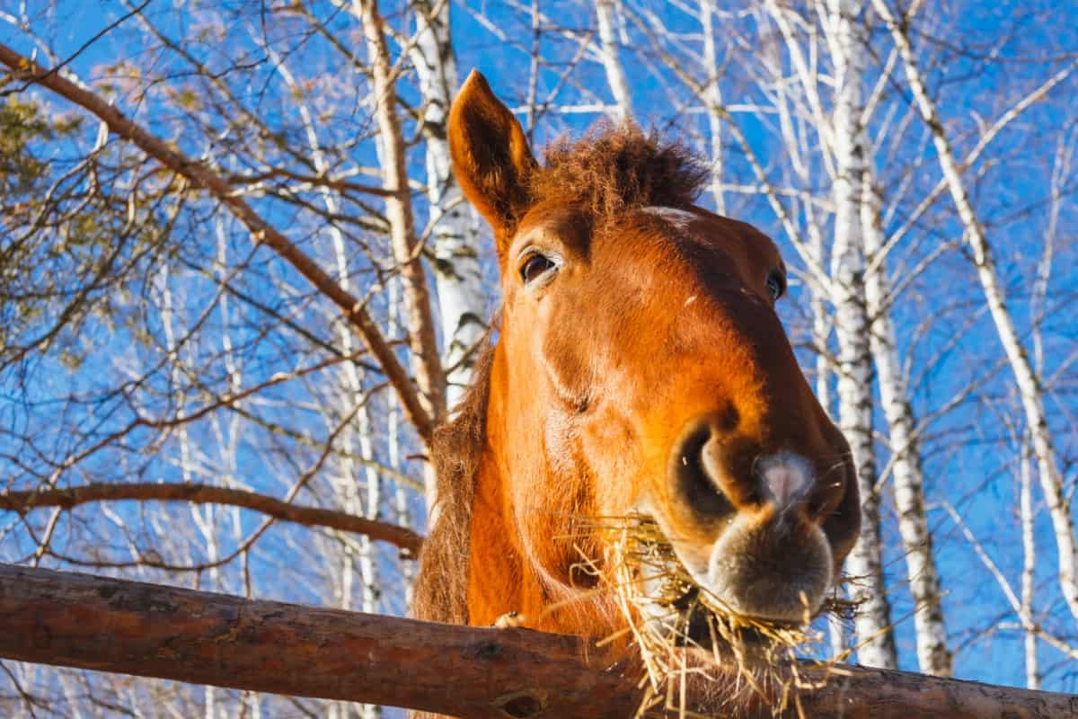 Horse with mouth of hay over fencepost