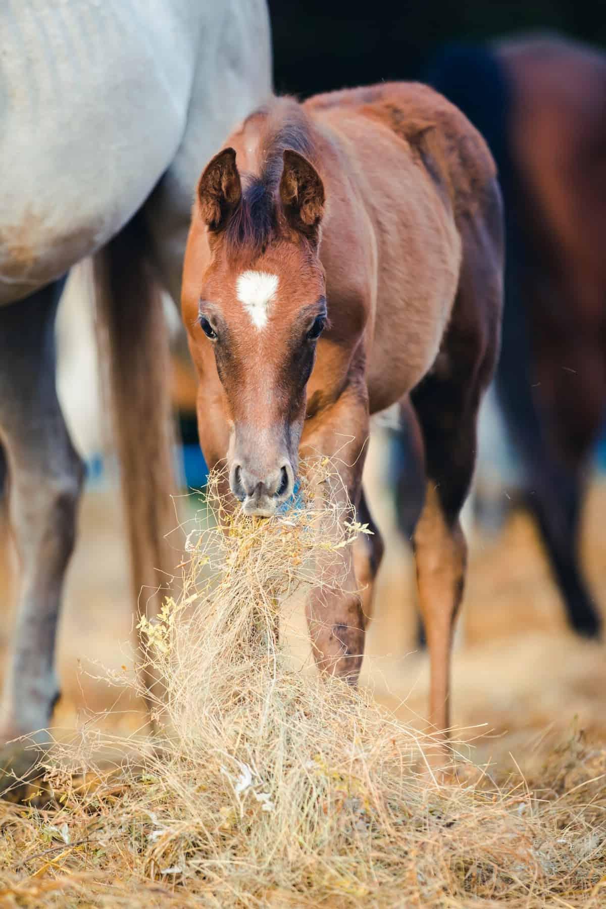 Brown foal eating hay
