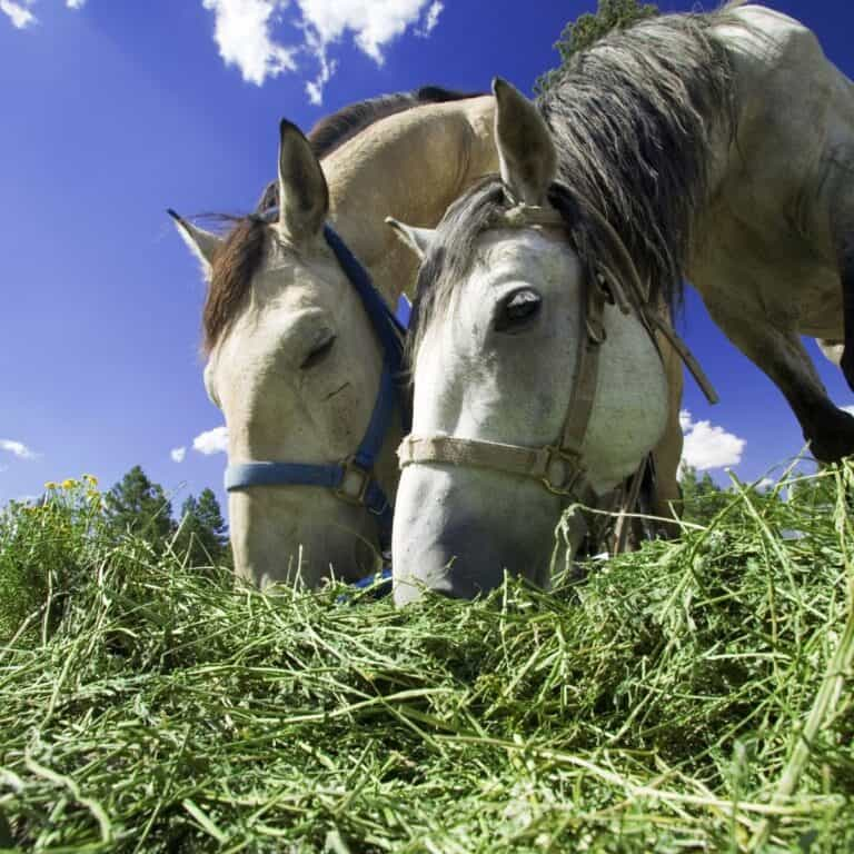 Two white horses eating green hay