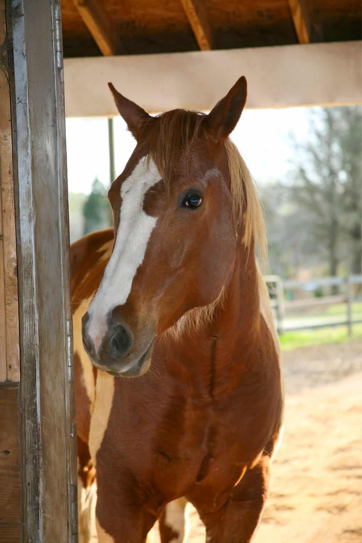 Brown horse with white markings in barn