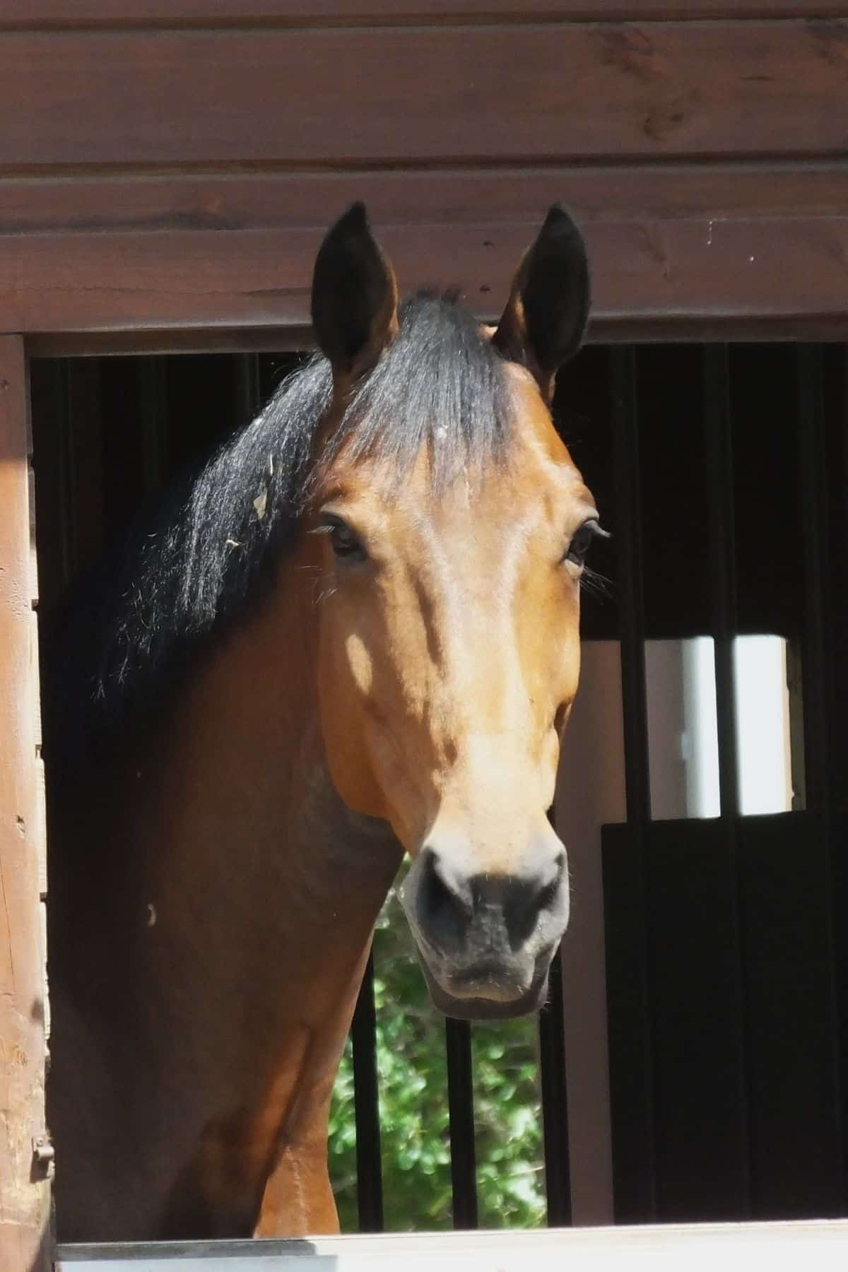 Brown horse with black mane lookin out from stall