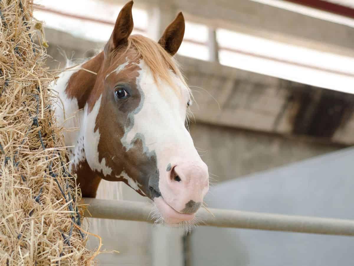 Spotted horse peering around corner of hay bale