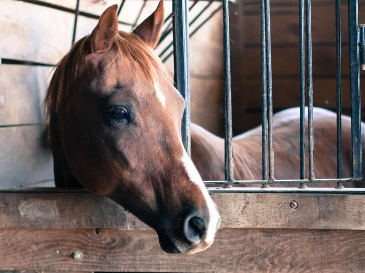 Brown horse behind wood door with black bars