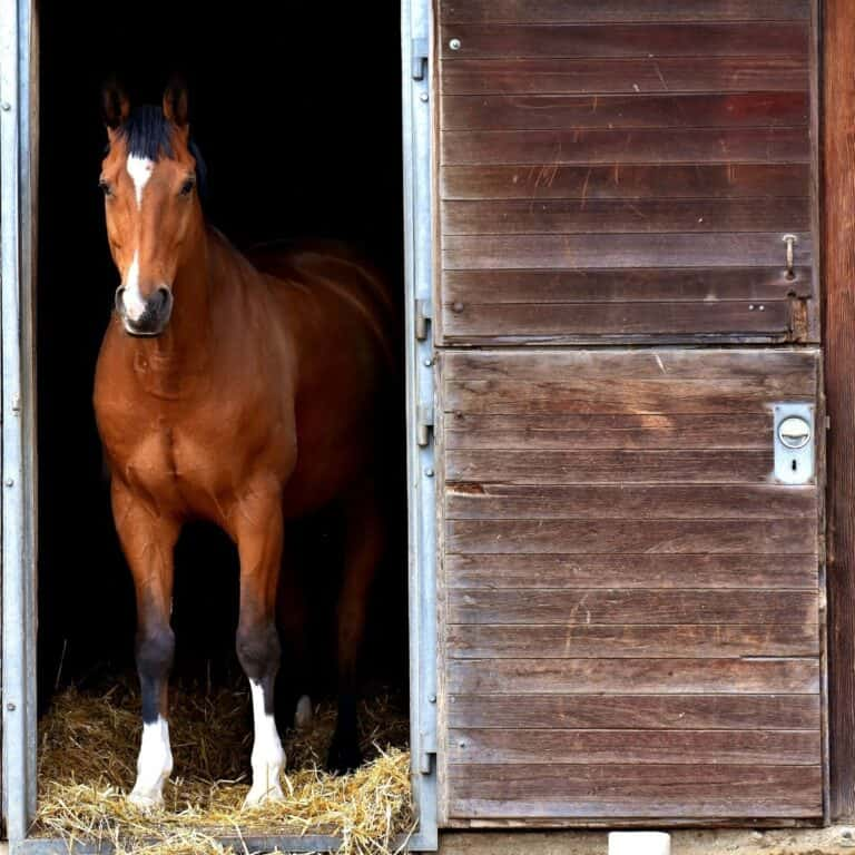 Brown and white horse standing in barn stall door