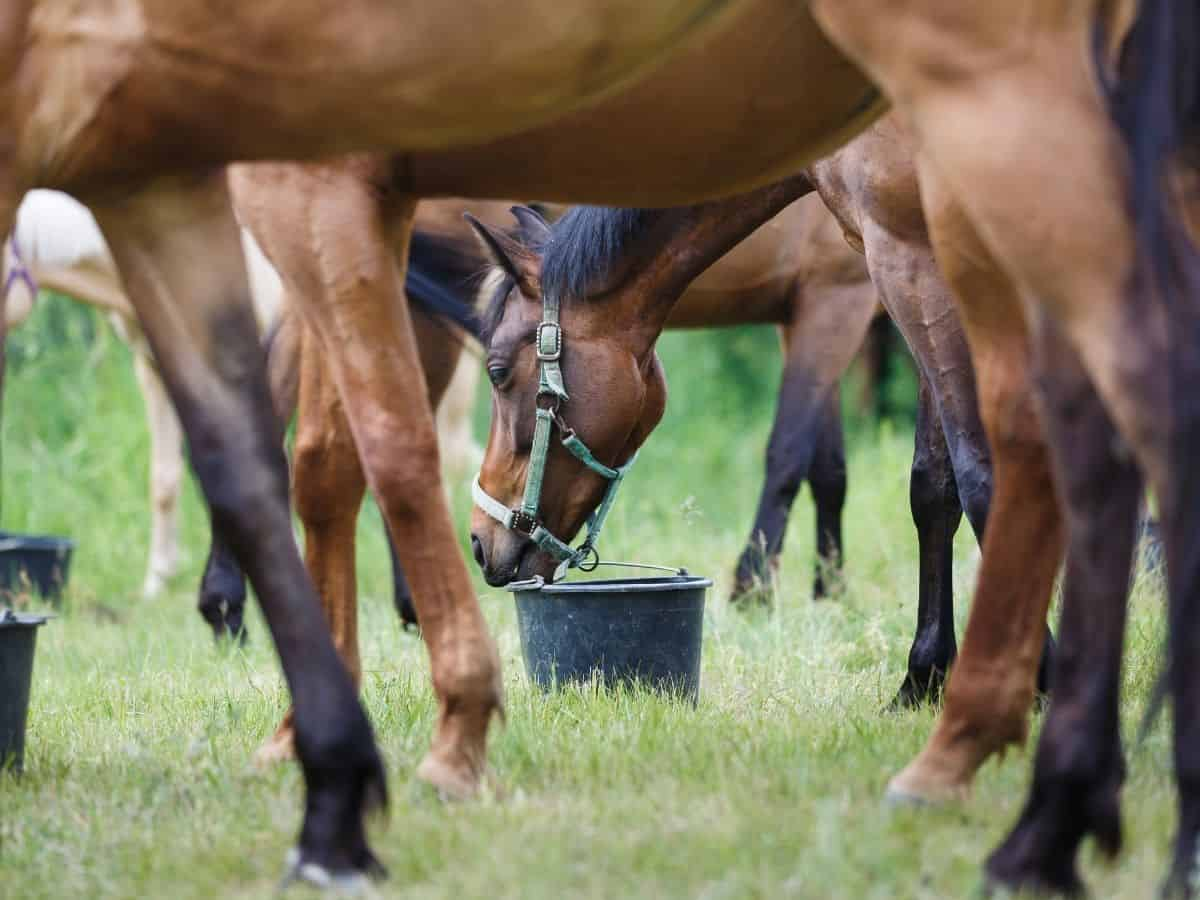 Horses in field eating from black bucket