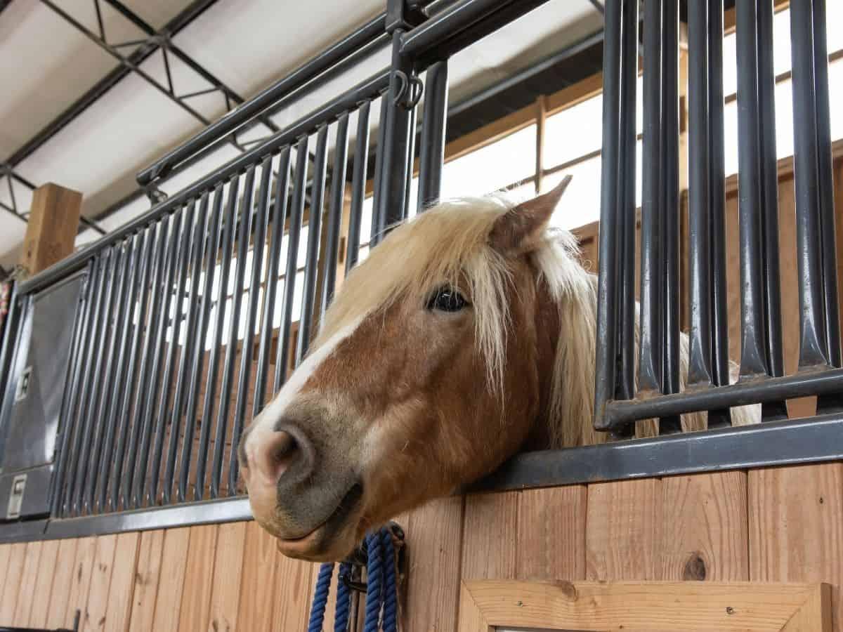Blonde horse poking head through stall