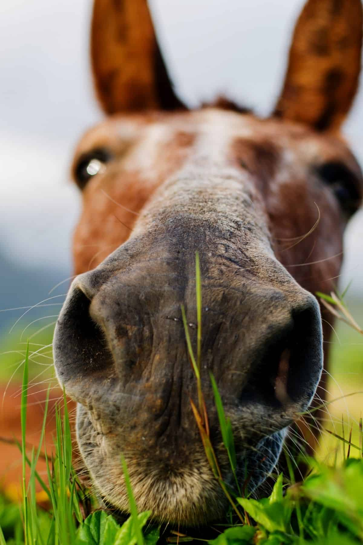 Close up horse face eating grass