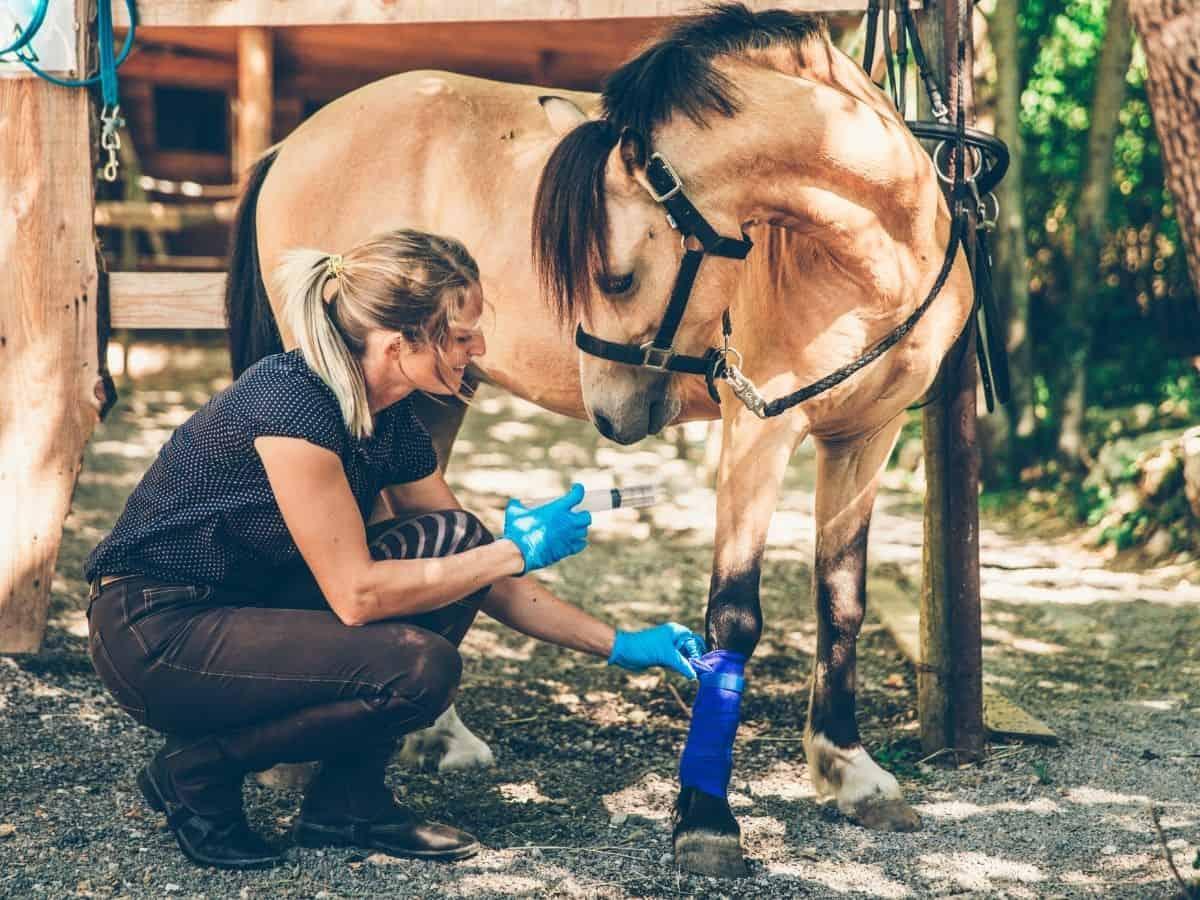 Woman applying bandage to blonde horse
