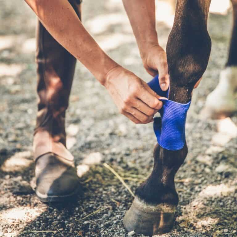 Hands wrapping brown horse leg with purple tape