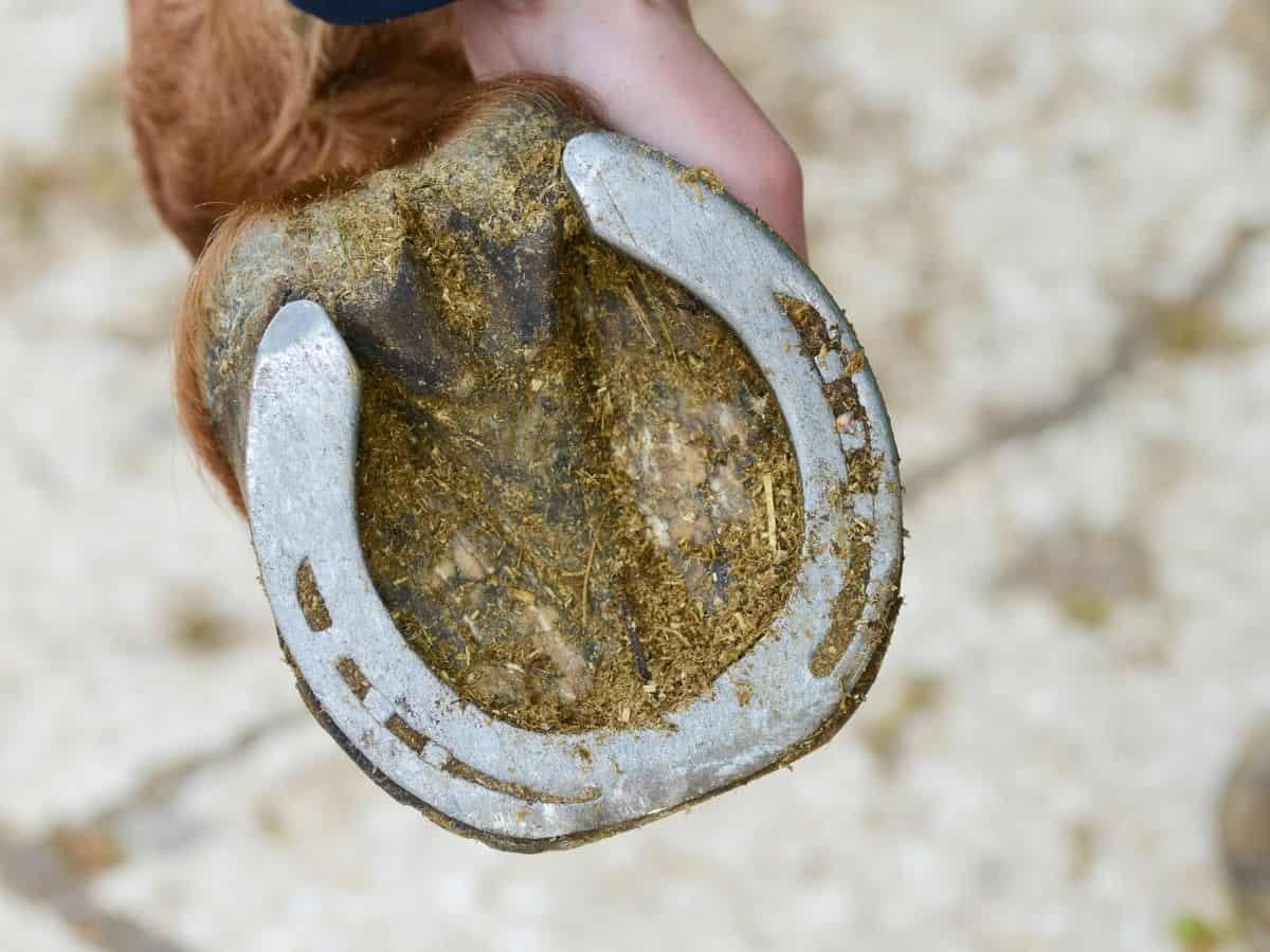 Horse hoof with manure in hoof
