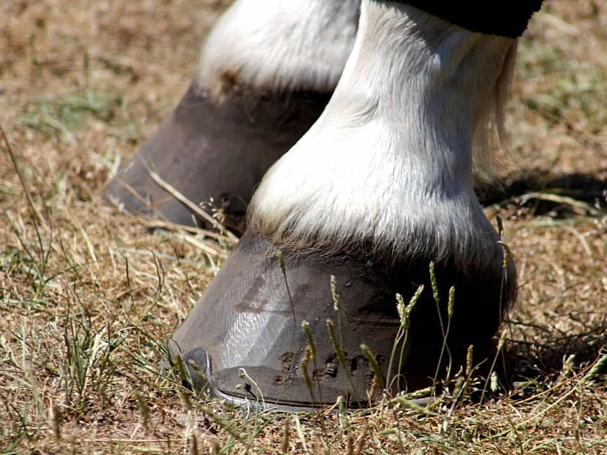 White leg on black hoof on grass