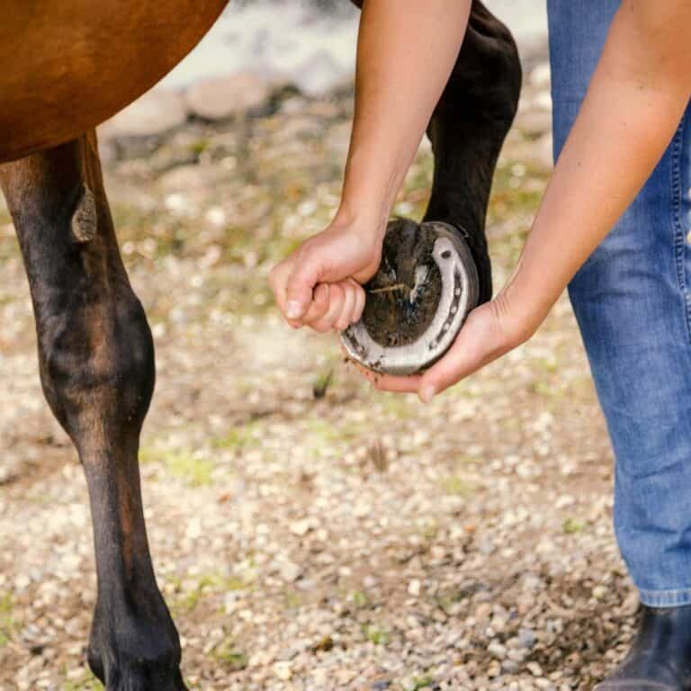 Hoof being held up by person in jeans
