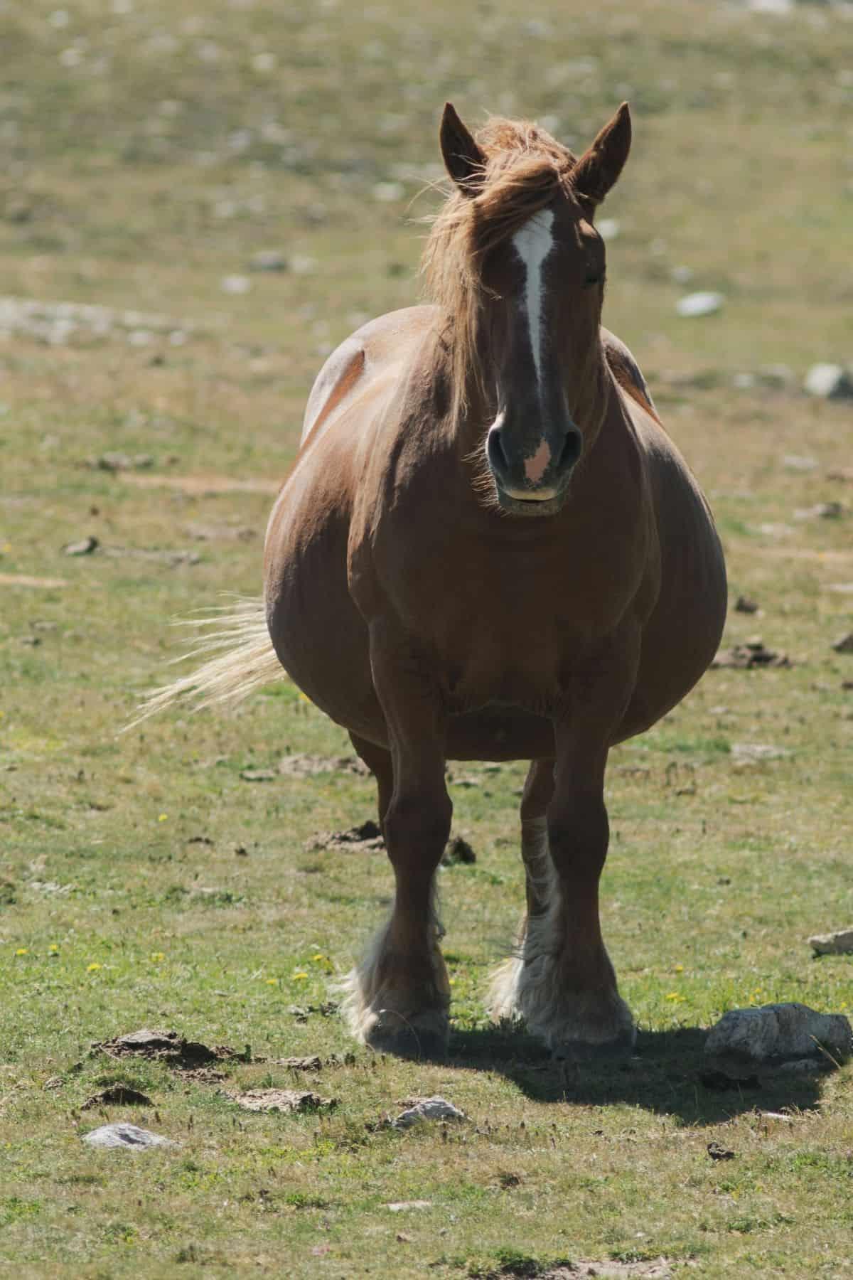 Pregnant horse trotting toward front ofi mage