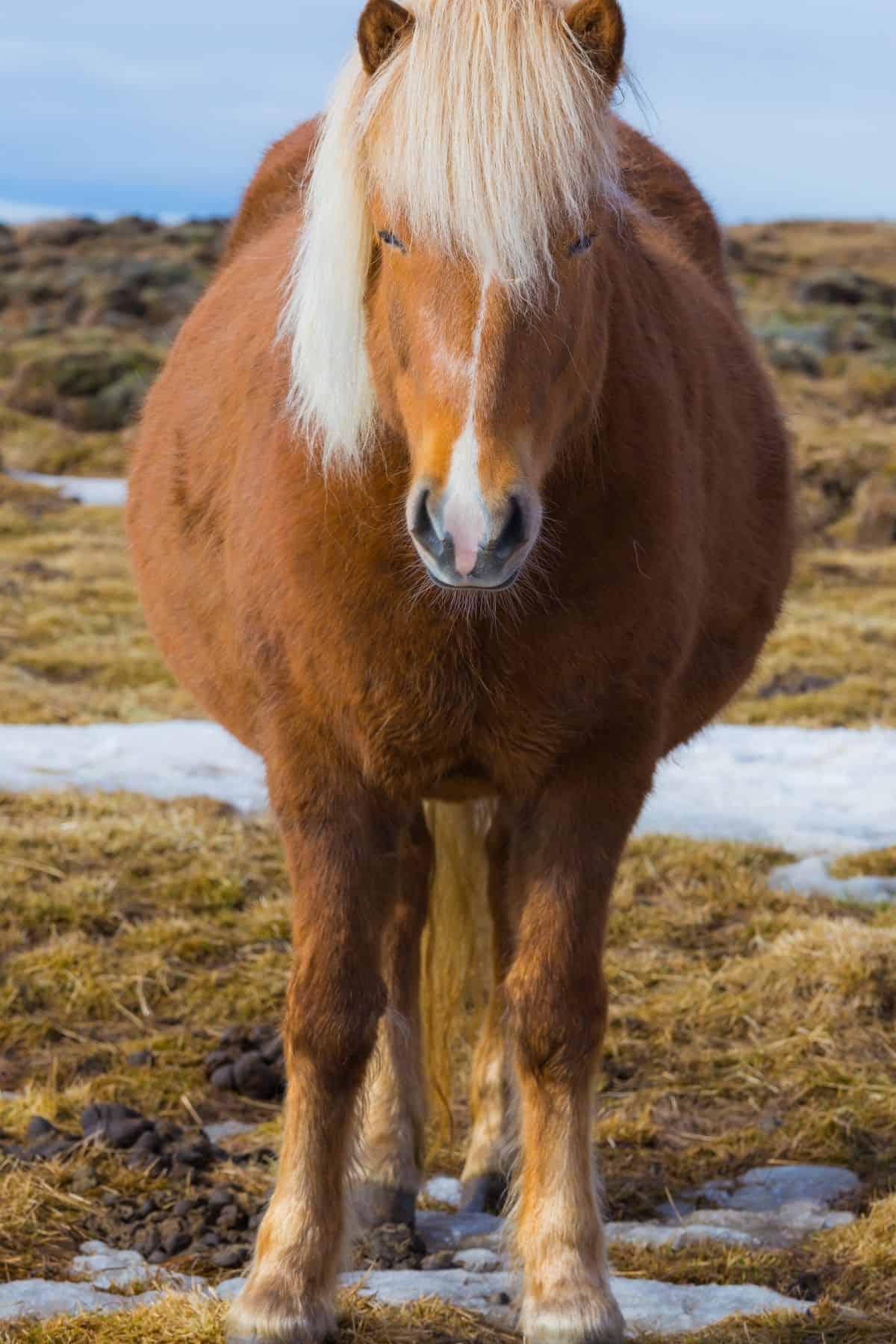 Blonde pregnant horse in mud