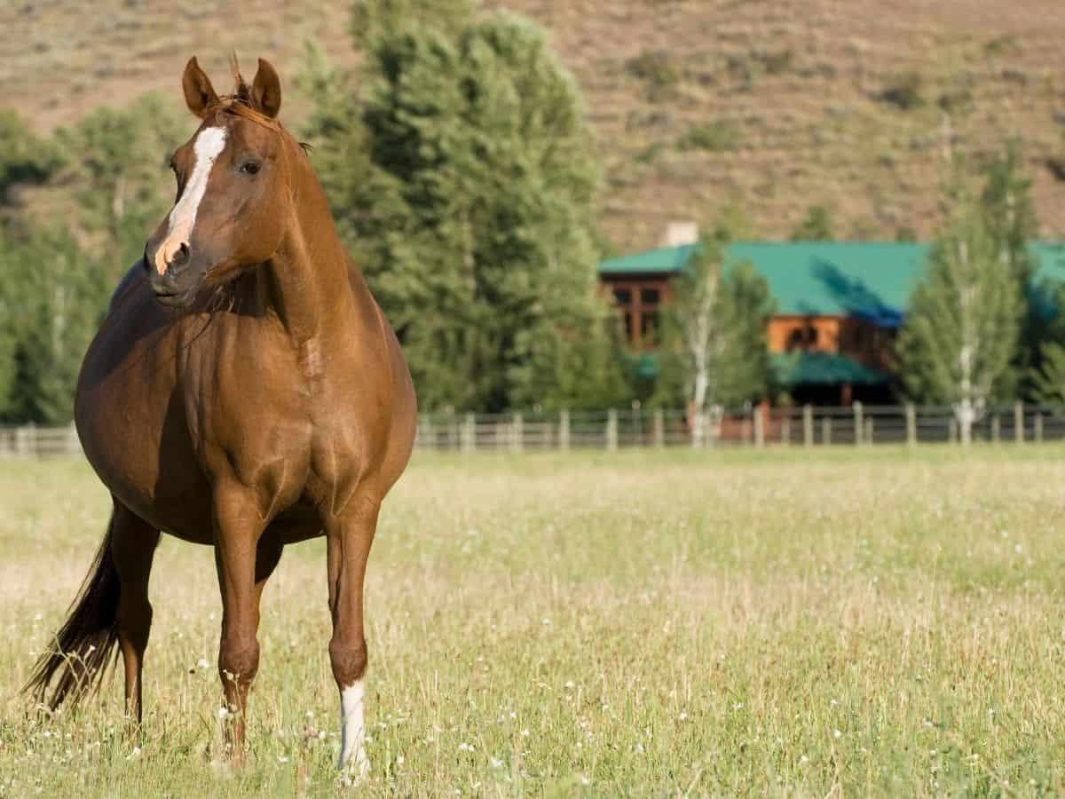 Brown pregnant mare in field by green roofed house