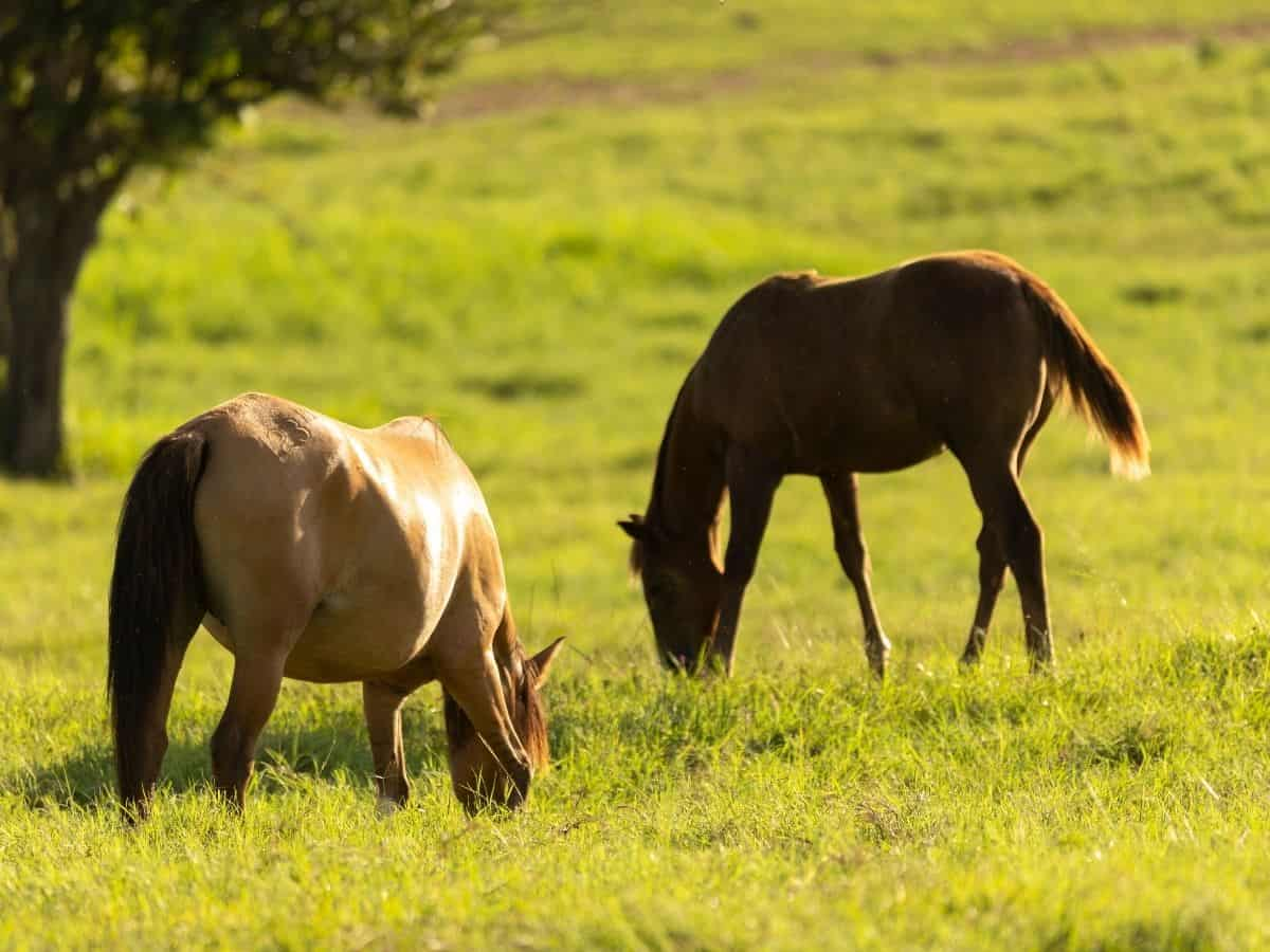 Two horses in field by tree eating