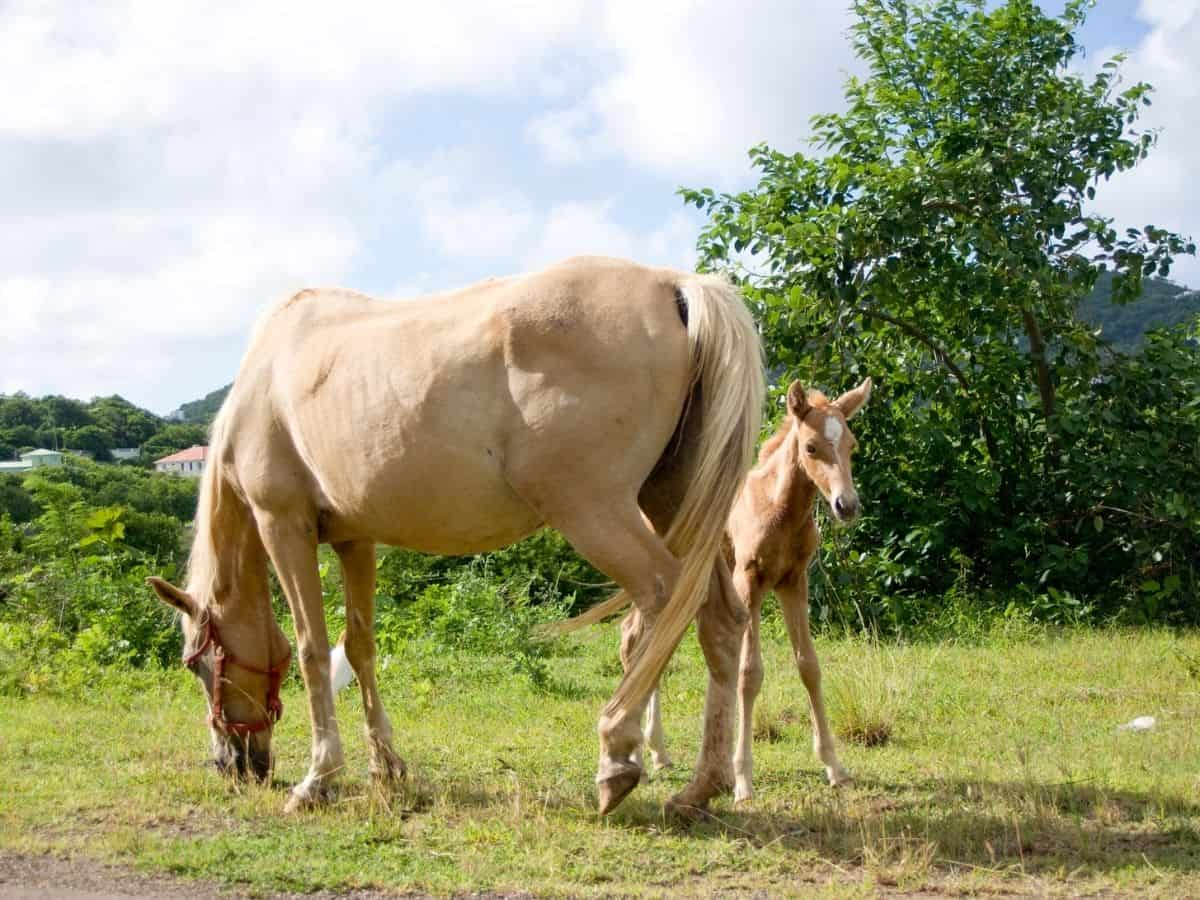 White horse with foal eating in pasture