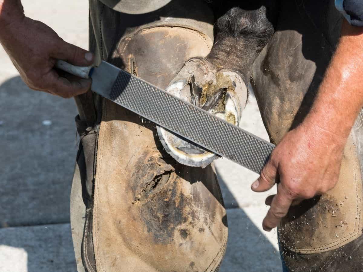 Man filing down a horse shoe on hoof
