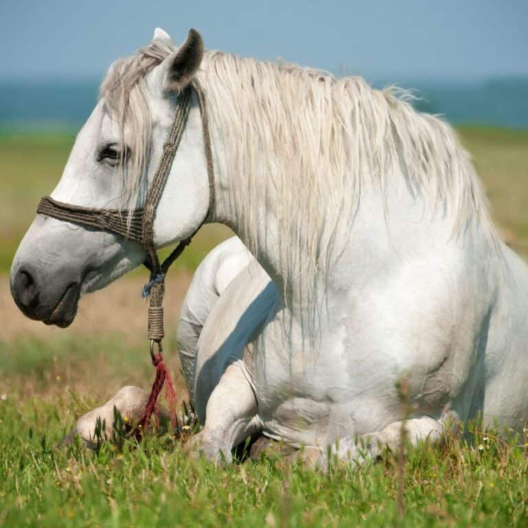 White horse lounging on grass