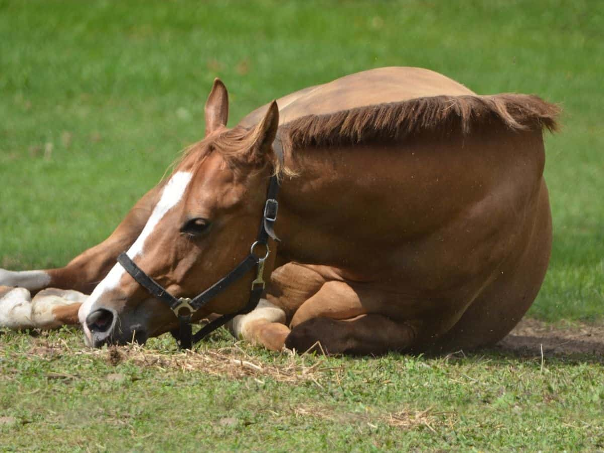 Brown horse laying down with white nose