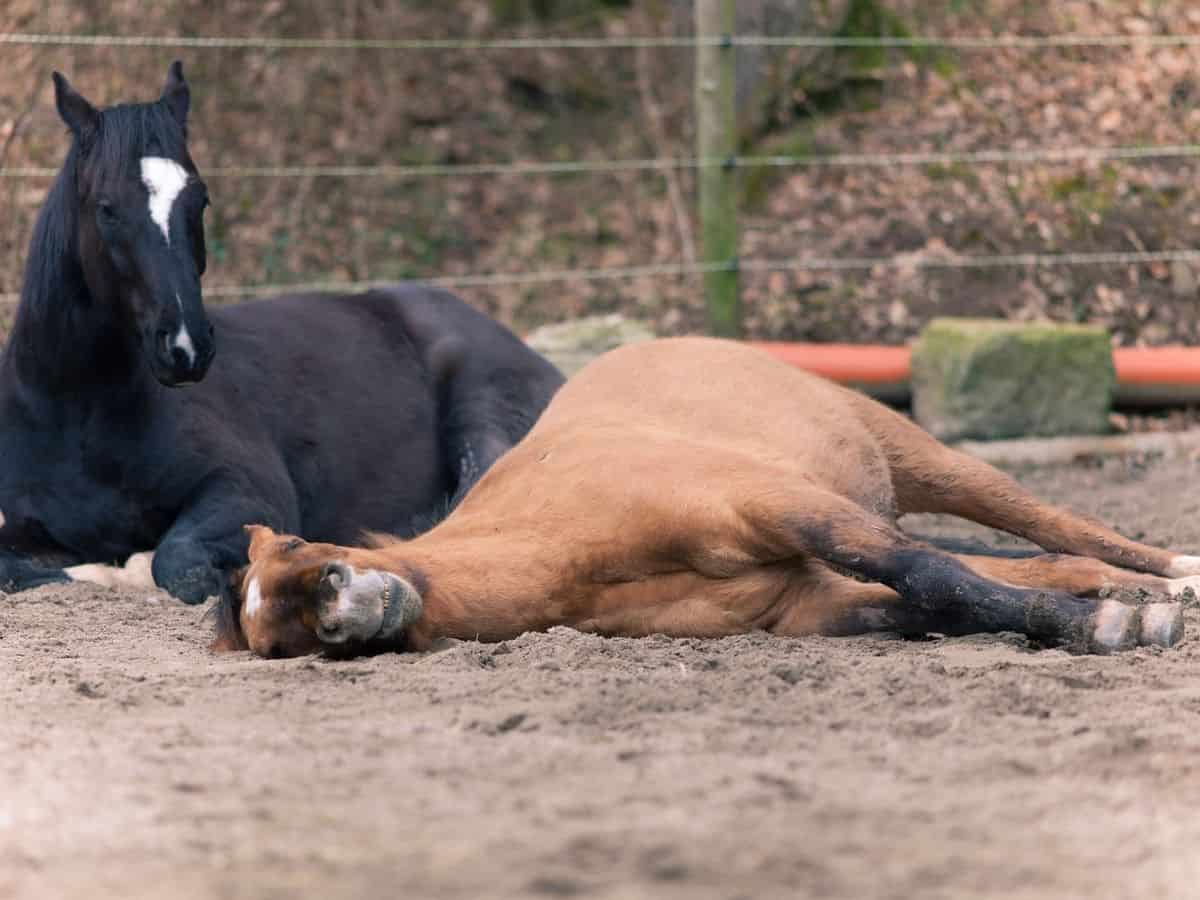 Black and blonde horses laying on dirt