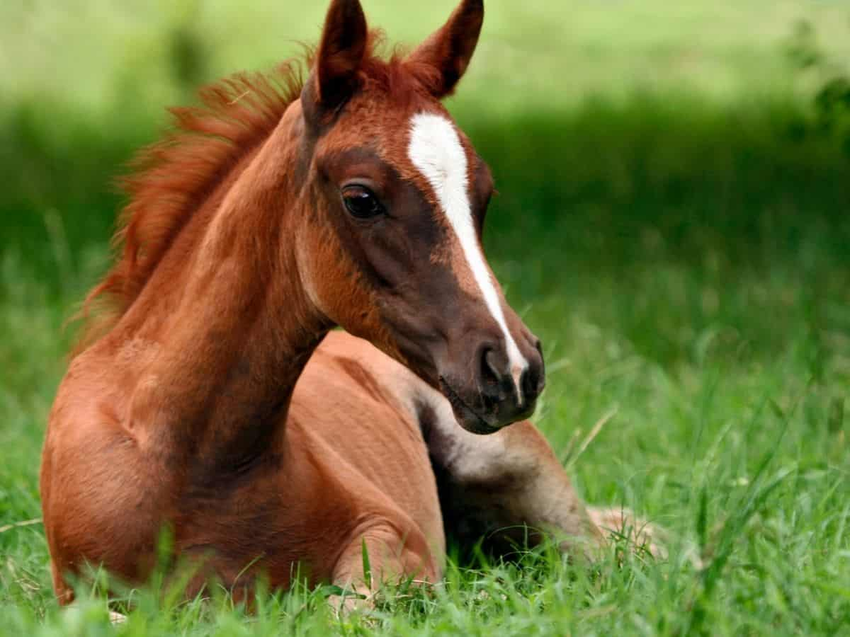 Brown horse with white face markings on grass