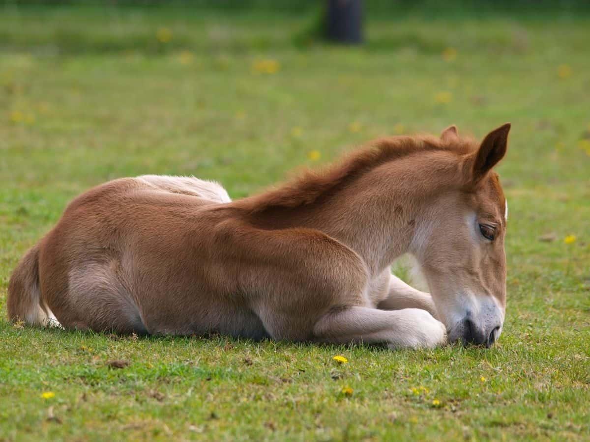 Blonde foal on grass
