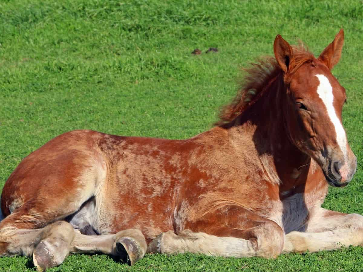Spotted red horse laying on grass