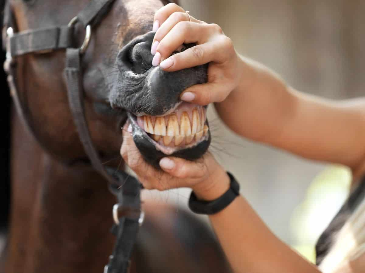 Hands holding horse mouth open to show teeth