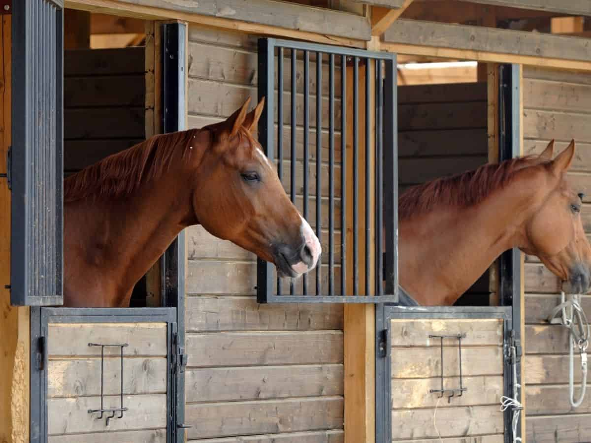 Brown horses with heads out of stall