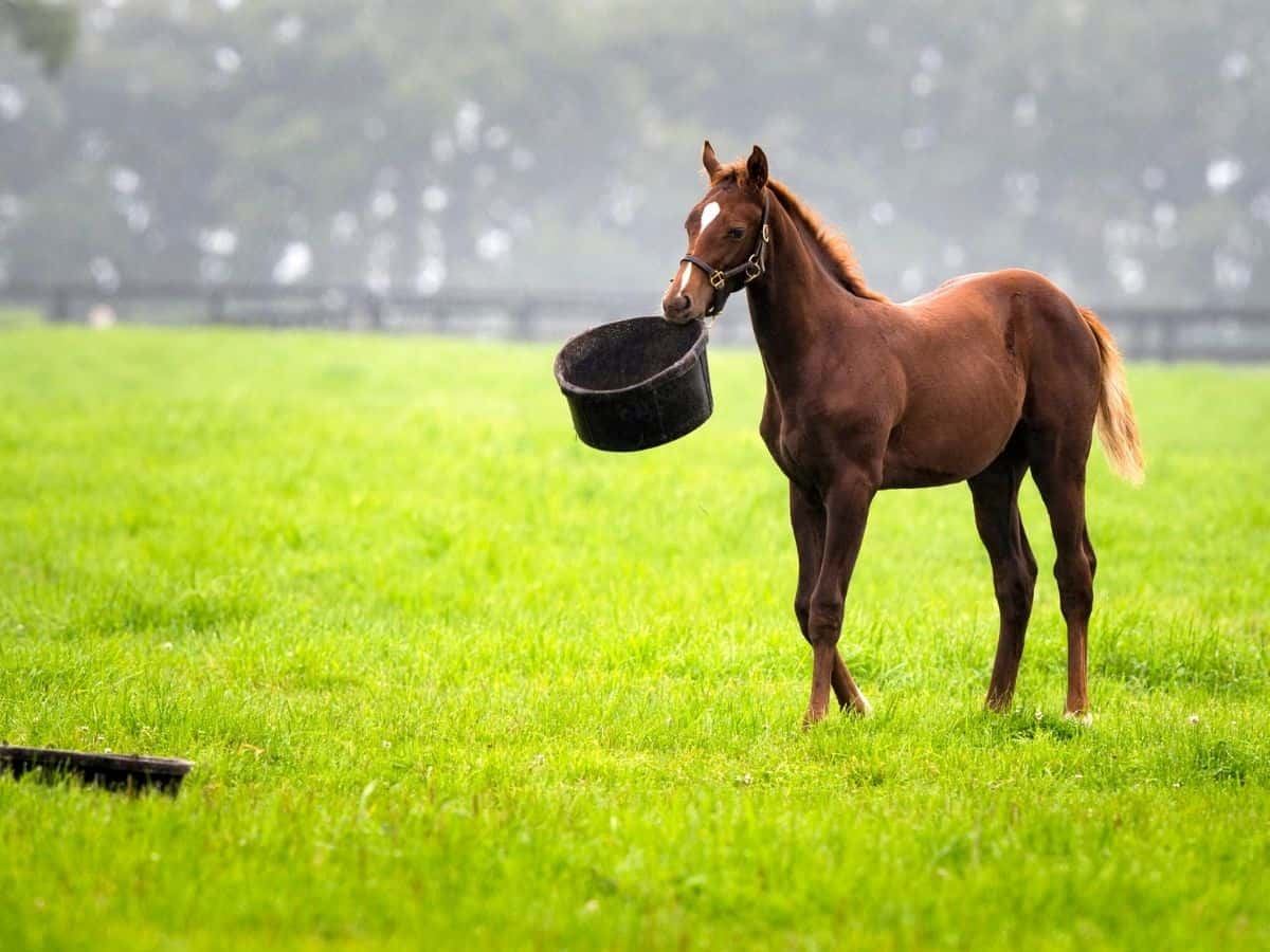 Brown horse carrying black bucket in its mouth