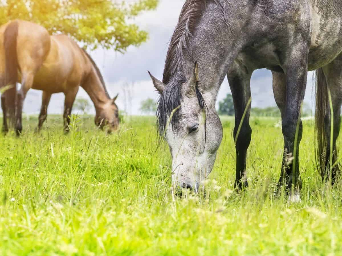 Gray spotted horse eating grass