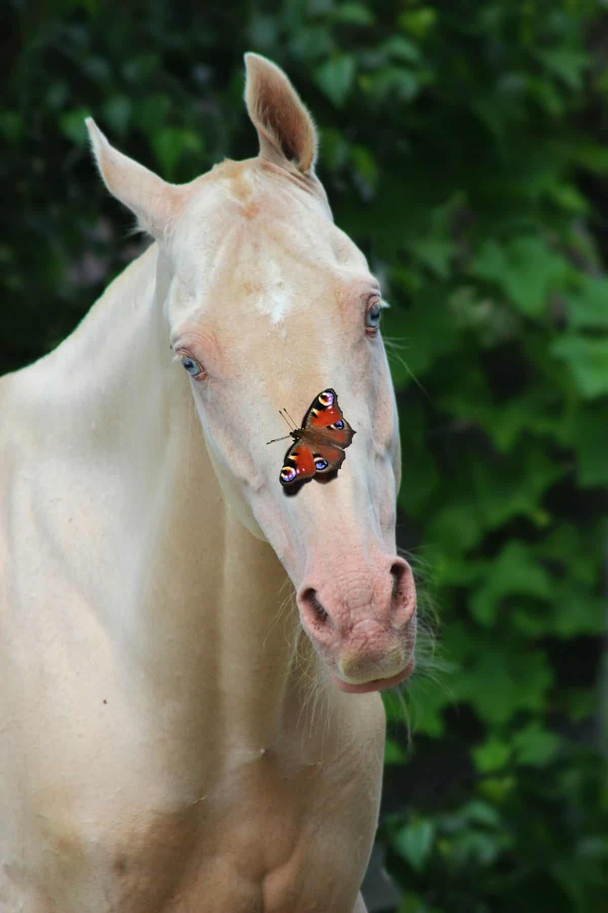 White horse with butterfly on his nose