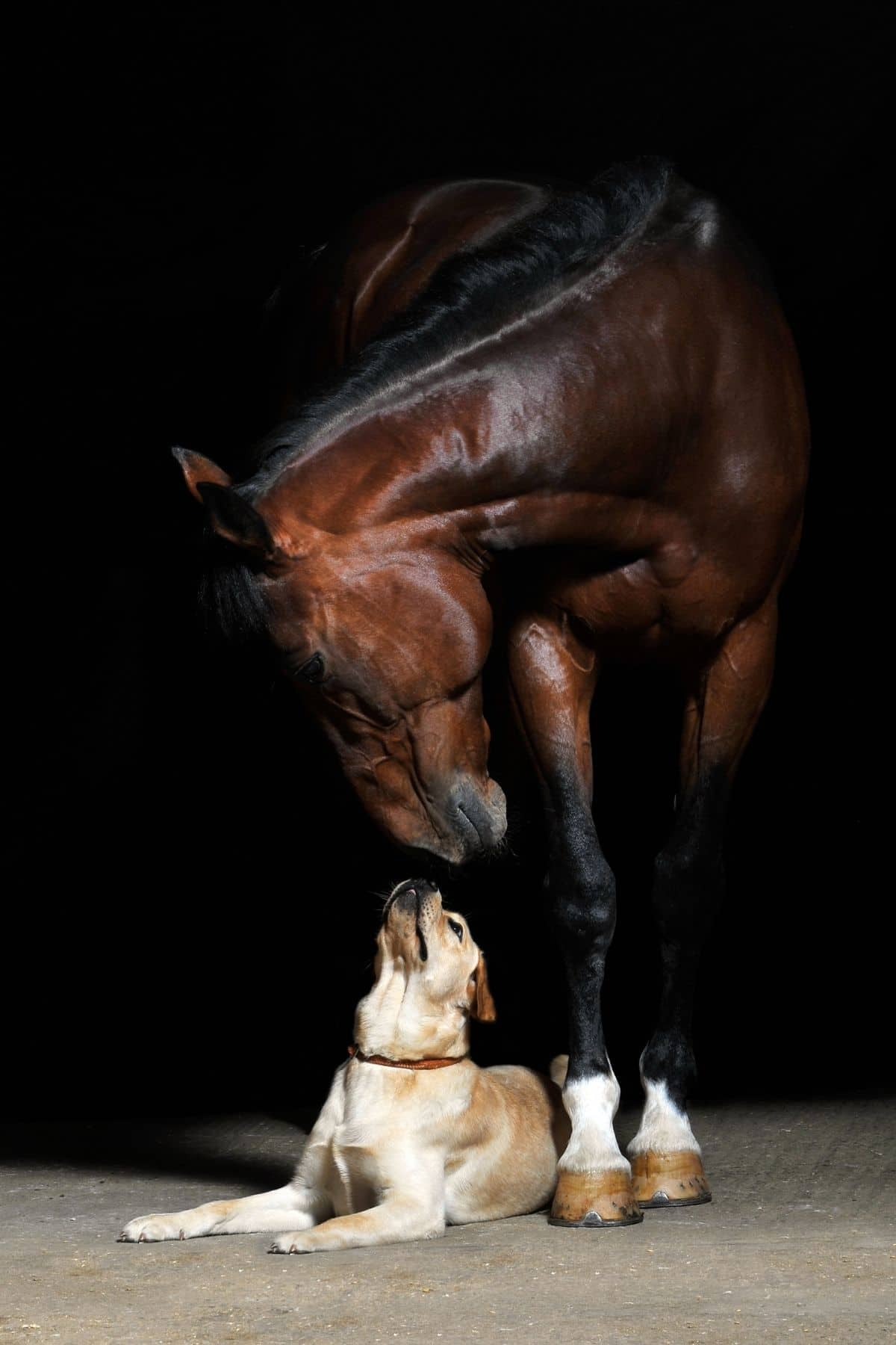 Dark brown horse touching noses with dog