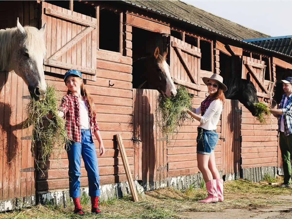Three people feeding hay to horses in stalls
