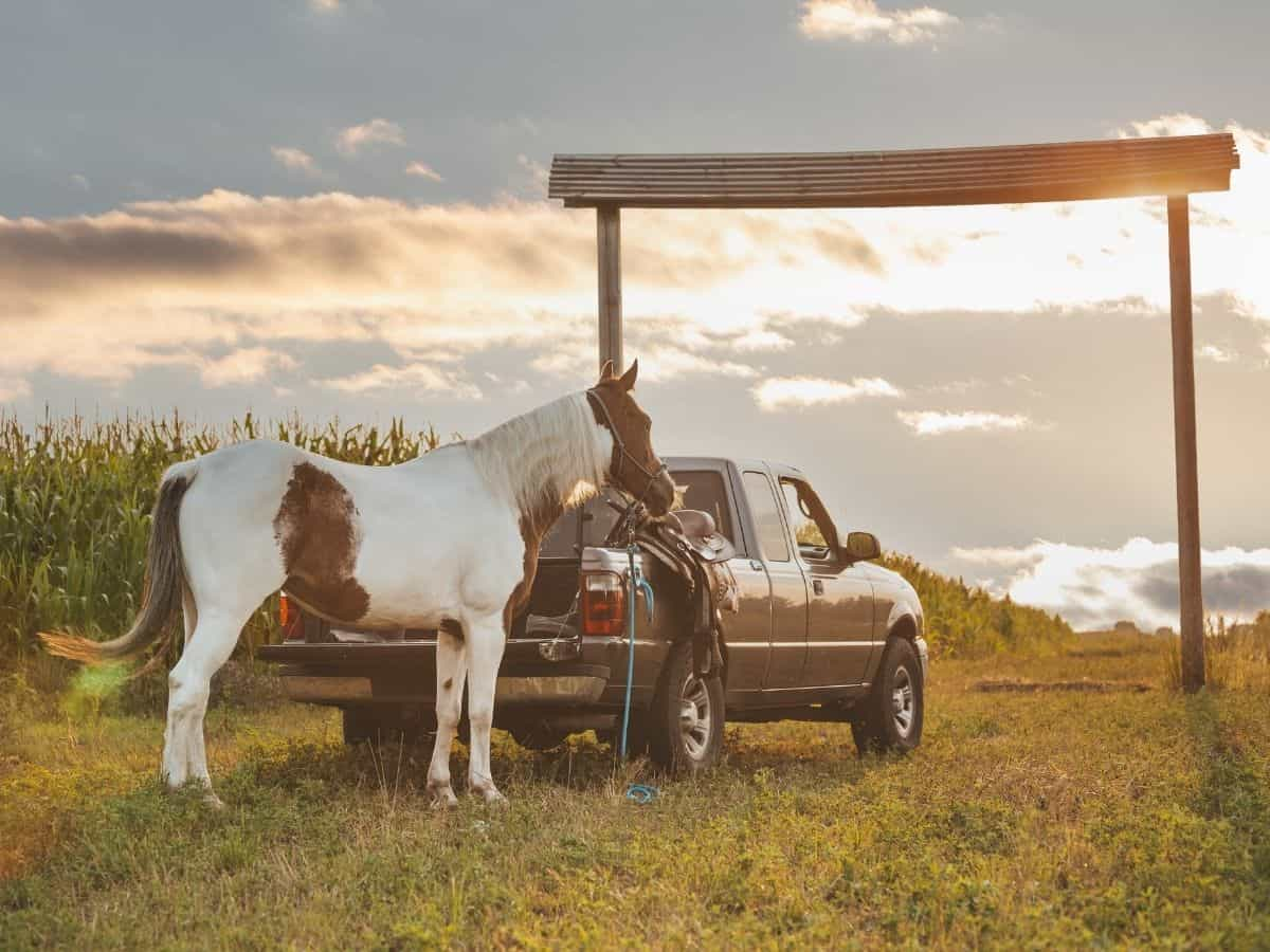 White and brown horse tied to truck at sunset