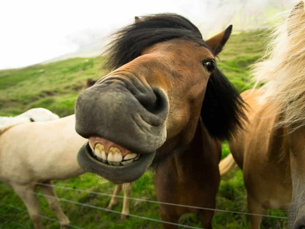 Brown horse smiling over fence