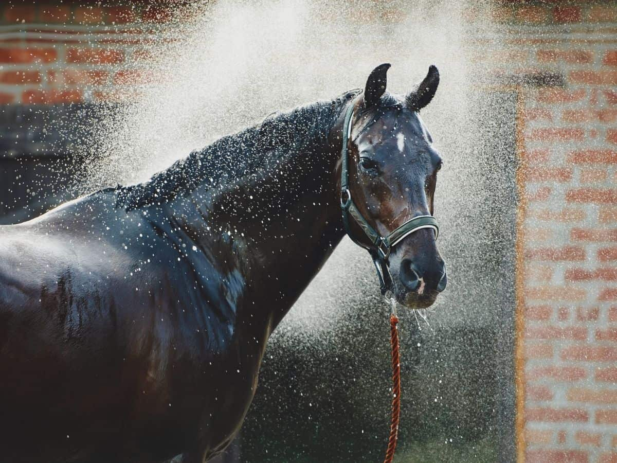 Black horse being sprayed with water