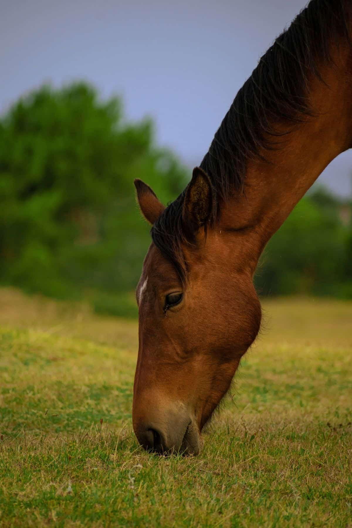 Brown horse with short mane eating grass