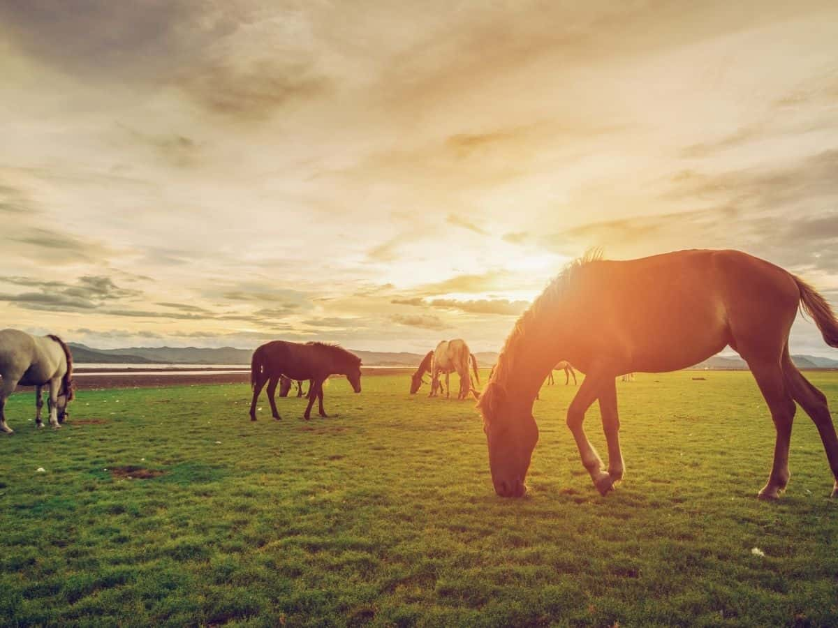 Horses in green pasture at sunset