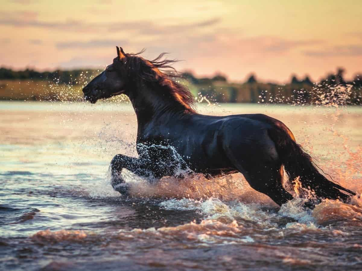 Black horse running in water at sunset