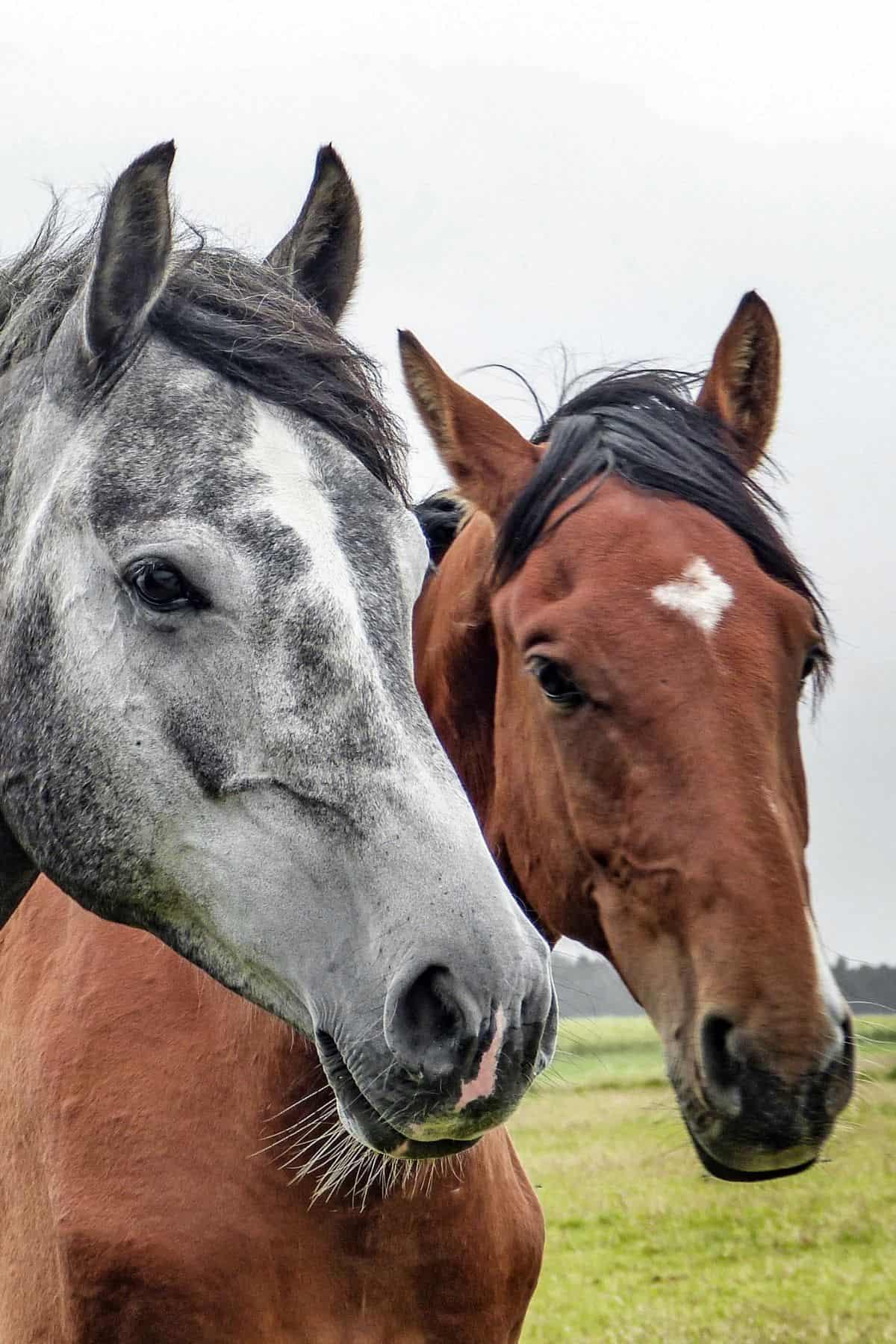 Gray and brown horse looking toward camera