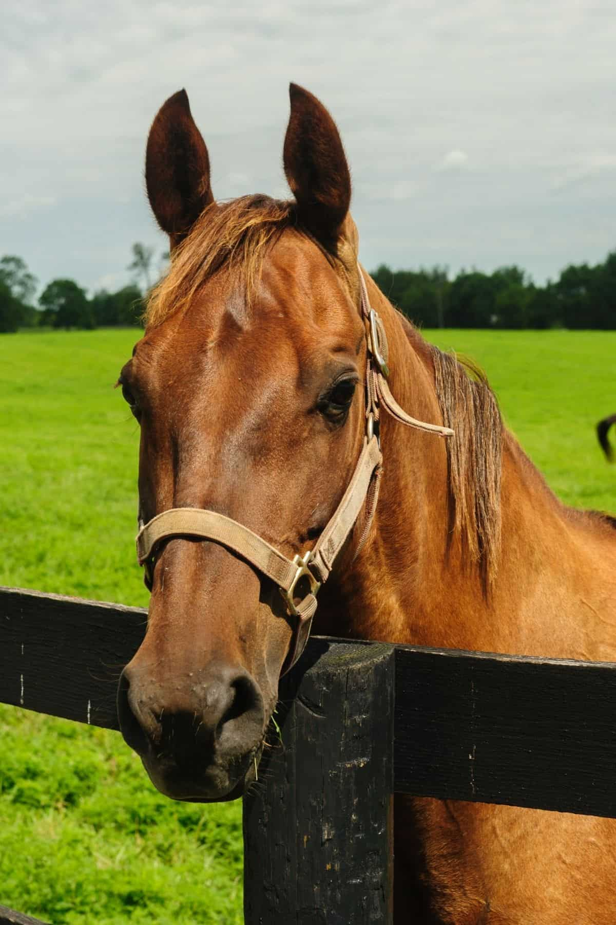brown horse leaning over black fence