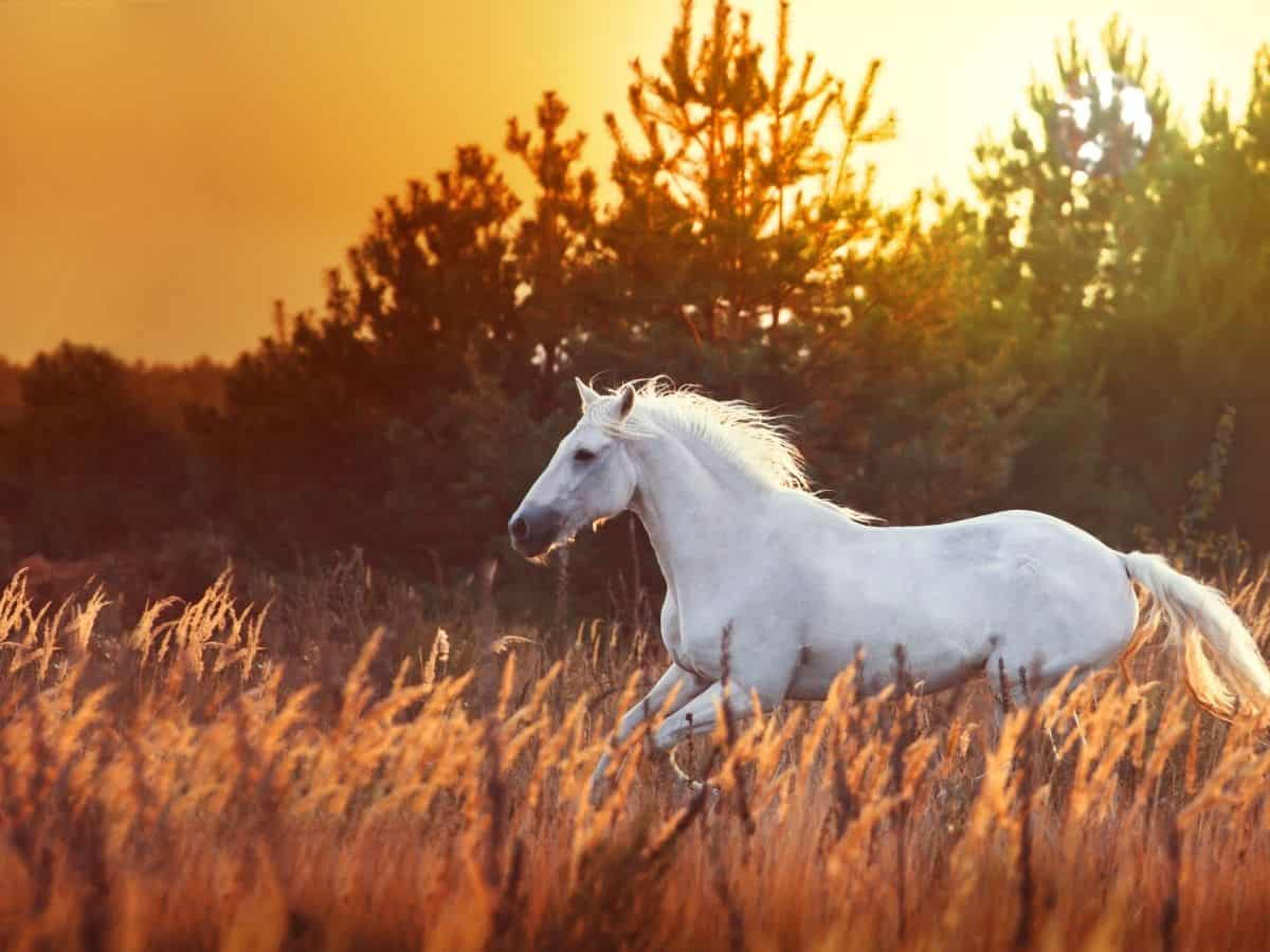 white horse in field at sunset