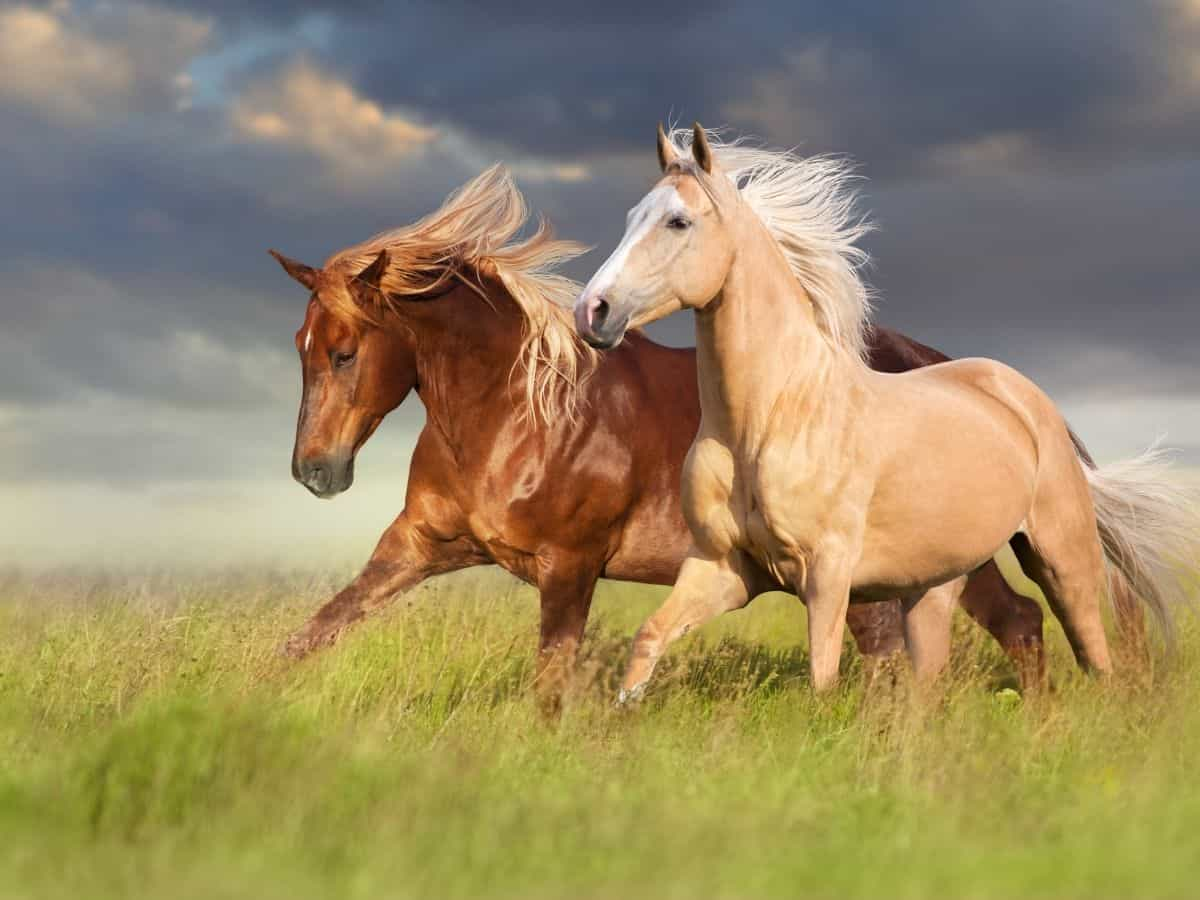 Brown and blonde horse running in grassy field