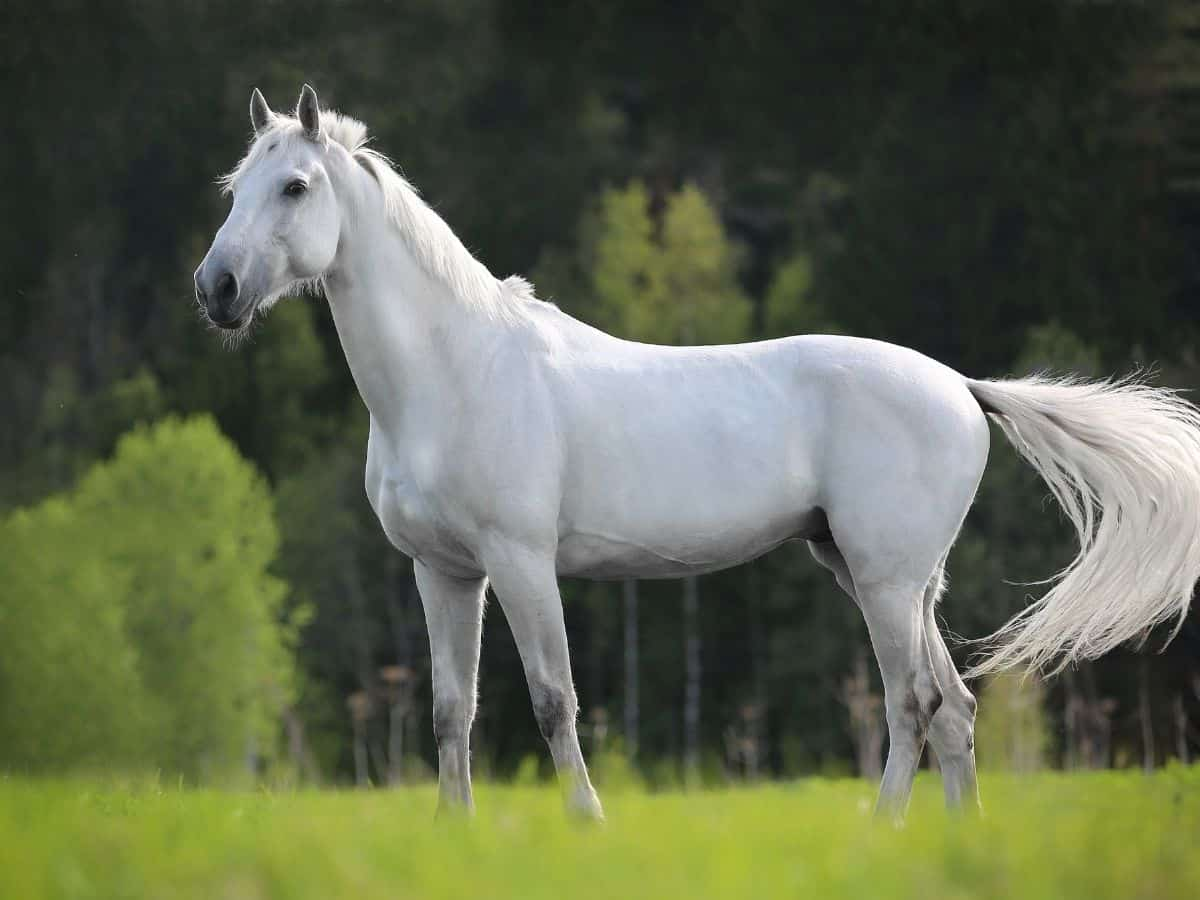 White horse standing alone in green field