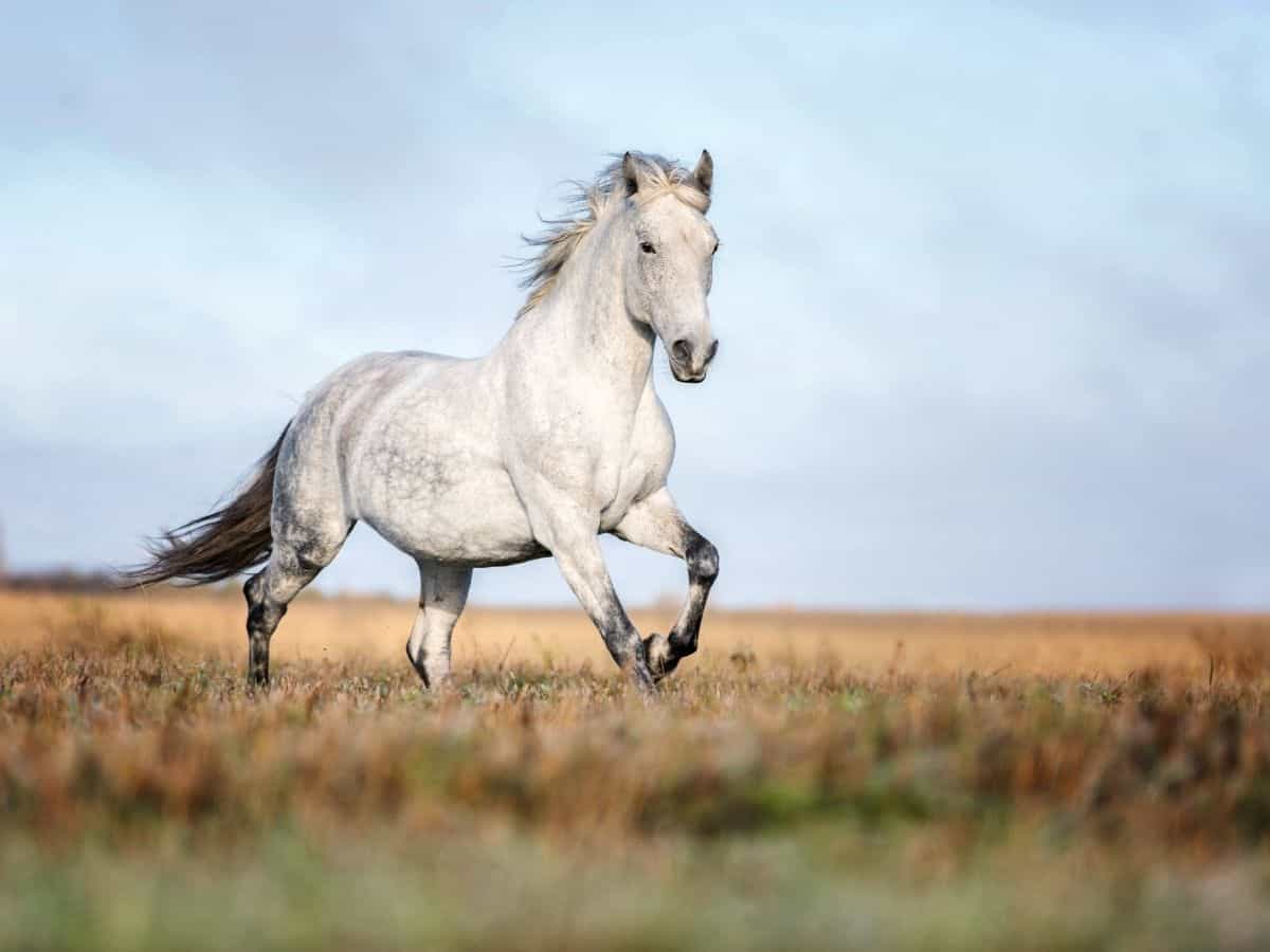 White horse running in field