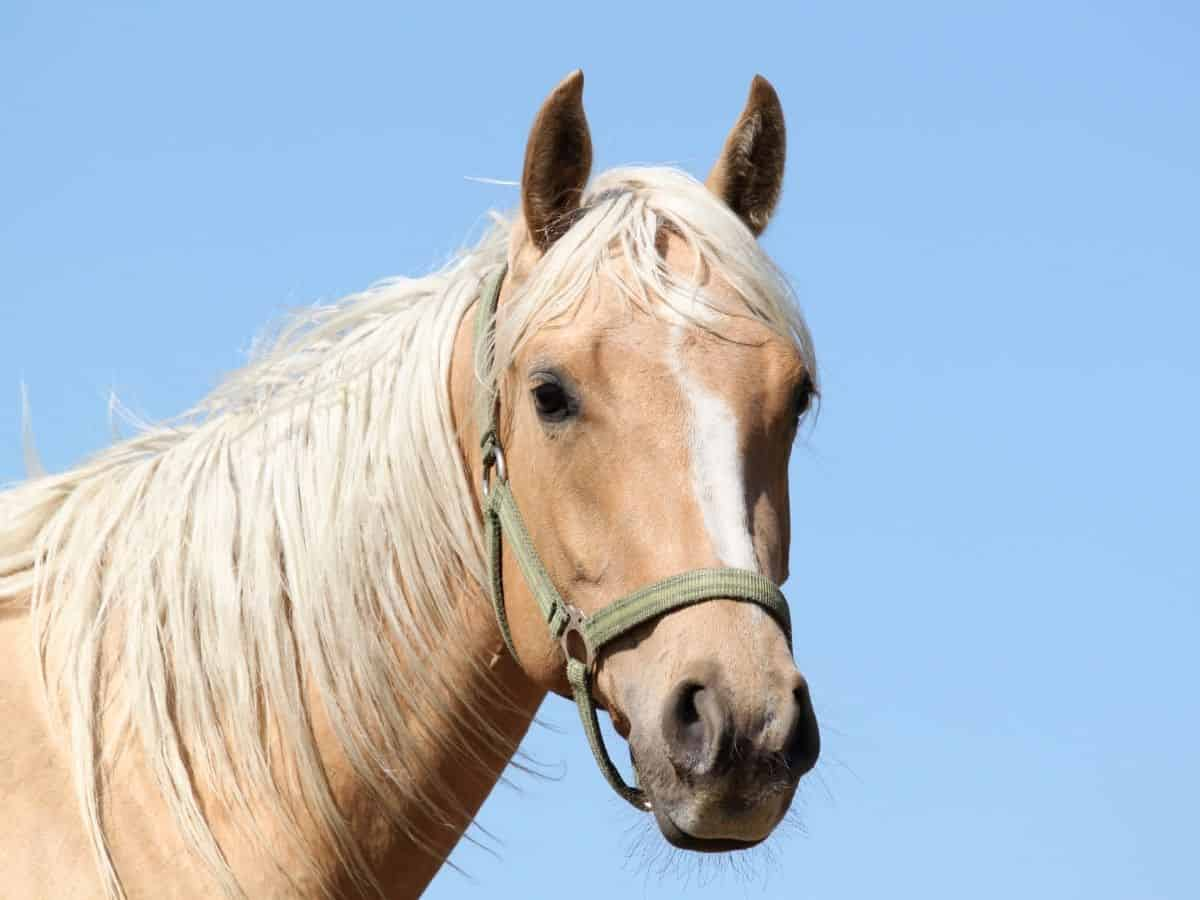 Face and neck of blonde horse with sky in background