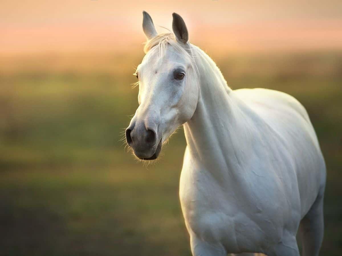 white horse looking at camera
